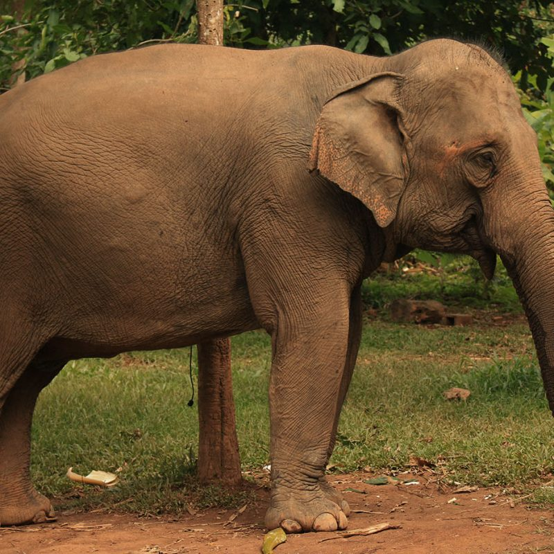 Side view of Mae Boun Nam at the Elephant Conservation Center