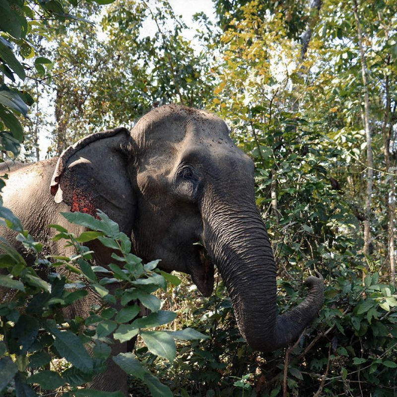 Mae khoun noy in the forest at the Elephant Conservation Center