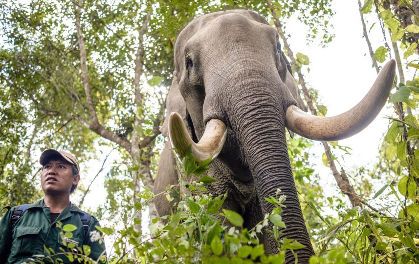Mahouts (elephant keepers) take elephants to a new place deep in the forest in the Elephant Conservation Center, Sayaboury, Laos, in December 2018. Laos was known as 'The land of a million elephants' in the past, today the elephant population in the country stands at around 800 individuals. Half of them is made up of captive elephants, and their number is in decline; the owners are not interested in breeding animals (the cow needs at least four years out of work during her pregnancy and lactation), illegal trafficking to China and other neighboring countries continues. Against this backdrop, the Elephant Conservation Center is the only one organization in Laos who is interested in maintaining the population and breeding of elephants. They have the only elephant hospital and research laboratory in Laos. The Center was created in 2011, and now the team is protecting 29 elephants that had been working in the logging industry or mass tourism, and 530 hectares of forest around Nam Tien Lake in Sayaboury. 'If we have extra money, we buy an elephant,' says Anthony, the manager. The primary goal of the Center, besides conservation and breeding, is to reintroduce socially coherent groups of healthy elephants to a natural forest where they can contribute to the increase of the wild population. For this reason, a special socialization programme has been developed by the biologists, where domesticated elephants learn to communicate and survive in the wild under the supervision of specialists. 'There are not enough elephants in Laos,' says Chrisantha, the biologist of the center. 'We need around 5000 of a species to sustain a population, and we are nowhere near that. The efforts we are making now at least give a bit of hope for the future.' (Photo by Oleksandr Rupeta)